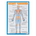 """Плакат """"Скелет человека"""" А2"""